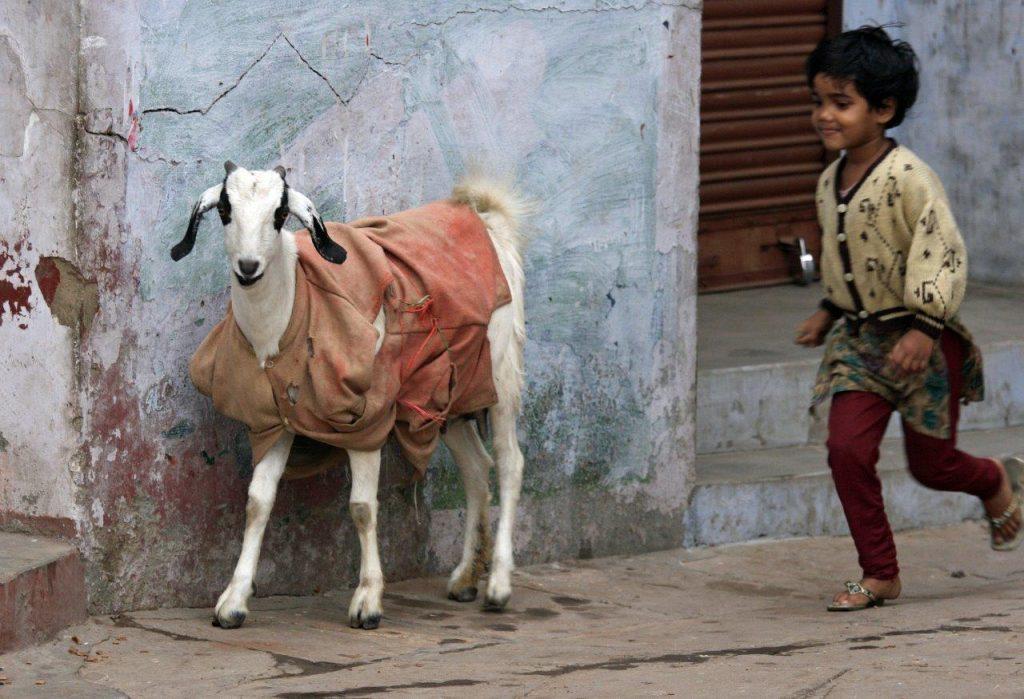 Temppelin varjossa - valokuvia Intiasta. Eläimille puetaan vaatteet kylminä kuukausina. Kuva © Päivi Arvonen.