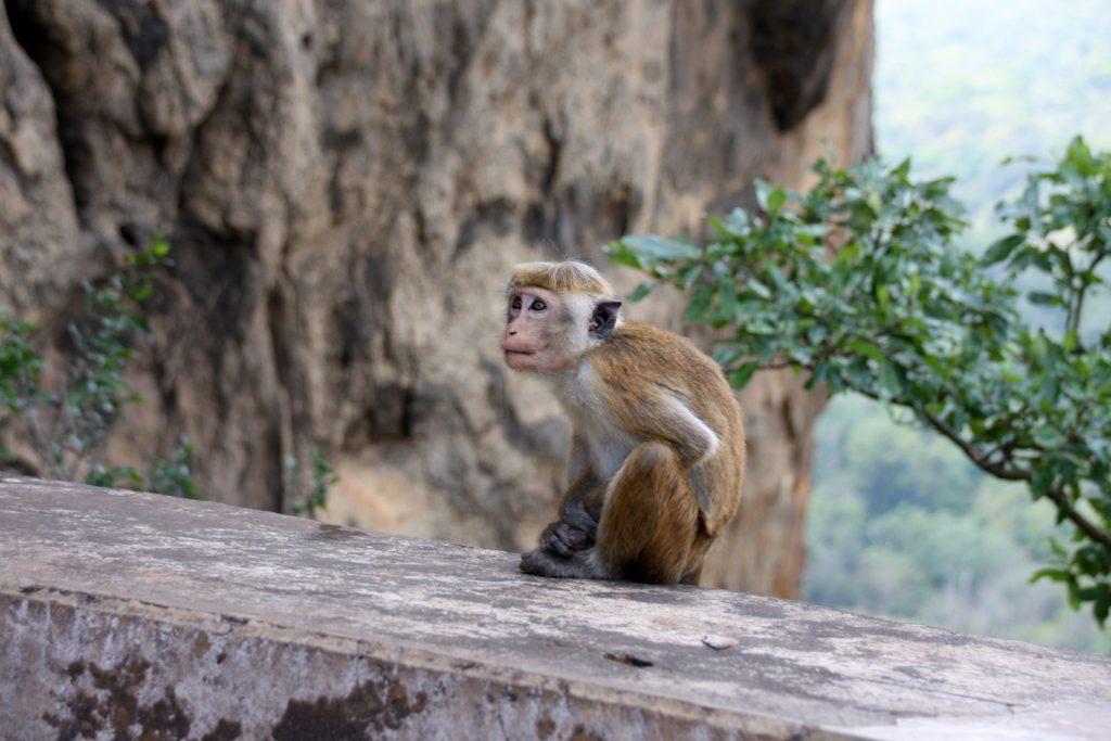 Sigiriya. Lisäjännitystä portaikkoihin tuo se, että alueella on paljon apinoita.