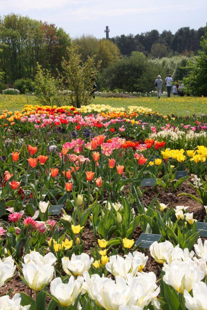 Tallinna, kasvitieteellinen puutarha:  tulppaaneja.