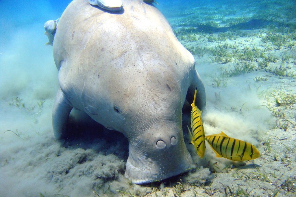 Merilehmä eli dugongi. Kuva: Julien Willem - CC BY-SA 3.0.