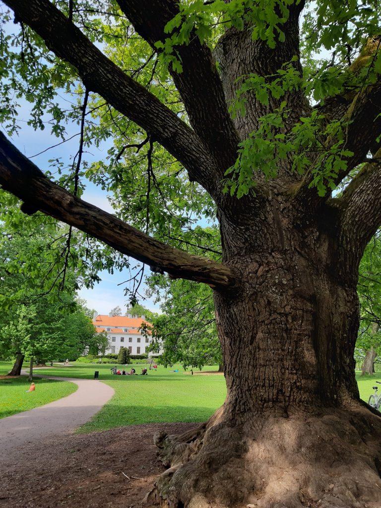 Espoon paksuin puu